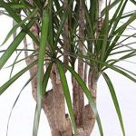 Plante verte - Dracaena Marginata de la marque FloraAtHome image 3 produit