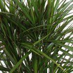 Plante verte - Dracaena Marginata de la marque FloraAtHome image 4 produit