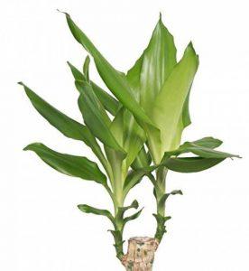 Plante verte - Dracaena Steudneri de la marque FloraAtHome image 0 produit
