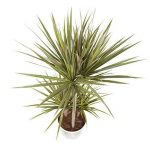 plante verte dracaena TOP 10 image 1 produit
