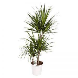 plante verte dracaena TOP 11 image 0 produit