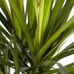 plante verte dracaena TOP 11 image 2 produit