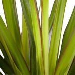 plante verte dracaena TOP 11 image 4 produit