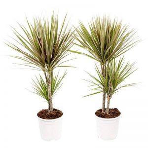plante verte dracaena TOP 7 image 0 produit