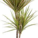 plante verte dracaena TOP 7 image 2 produit