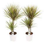plante verte dracaena TOP 7 image 3 produit