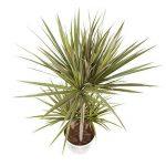 plante verte intérieur dracaena TOP 11 image 1 produit