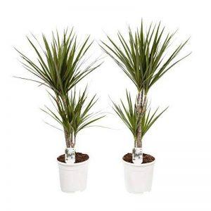plante verte intérieur dracaena TOP 12 image 0 produit