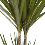 plante verte intérieur dracaena TOP 12 image 2 produit