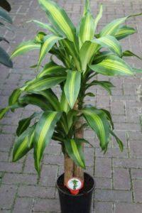 plante verte intérieur dracaena TOP 2 image 0 produit