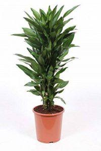 plante verte intérieur dracaena TOP 4 image 0 produit