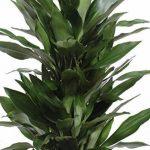 plante verte intérieur dracaena TOP 4 image 1 produit