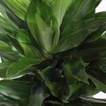 plante verte intérieur dracaena TOP 4 image 2 produit