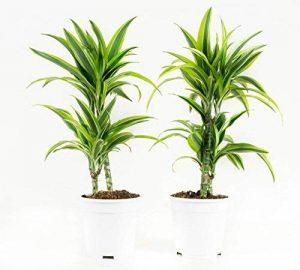 plante verte intérieur dracaena TOP 5 image 0 produit
