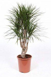 plante verte intérieur dracaena TOP 6 image 0 produit