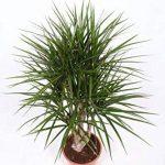 plante verte intérieur dracaena TOP 6 image 1 produit