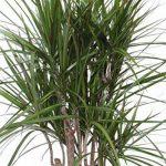 plante verte intérieur dracaena TOP 6 image 2 produit