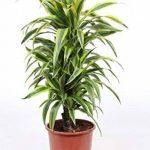 plante verte intérieur dracaena TOP 9 image 2 produit