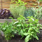 planter ciboulette TOP 3 image 1 produit