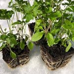planter ciboulette TOP 9 image 4 produit