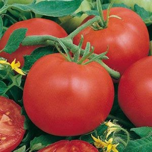 planter les semis de tomates TOP 1 image 0 produit