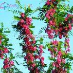 Rare graines d'or Mimosa belles graines Acacia Baileyana Jaune Wattle Arbre à fleurs à feuilles persistantes fleurs bonsaï toute l'année ronde 50PCS de la marque Generic image 4 produit