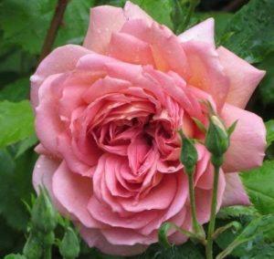 Rose Peace Rose Graines de fleurs 80 graines - ACHETER 4 ARTICLES de la marque SVI image 0 produit