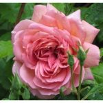 Rose Peace Rose Graines de fleurs 80 graines - ACHETER 4 ARTICLES de la marque SVI image 1 produit