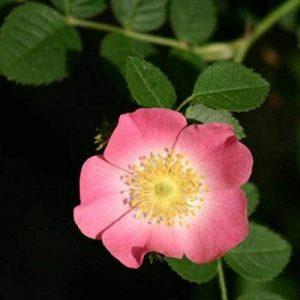 Rosier Rouillé (rosa Rubiginosa) de la marque Pépinières Naudet image 0 produit