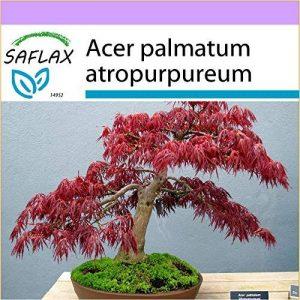 SAFLAX - Erable du Japon pourpre - 20 graines - Acer palmatum atropurpureum de la marque SAFLAX image 0 produit