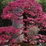SAFLAX - Erable du Japon pourpre - 20 graines - Acer palmatum atropurpureum de la marque SAFLAX image 2 produit