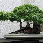 SAFLAX - Erable du Japon pourpre - 20 graines - Acer palmatum atropurpureum de la marque SAFLAX image 3 produit