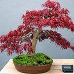 SAFLAX - Erable du Japon pourpre - 20 graines - Acer palmatum atropurpureum de la marque SAFLAX image 4 produit