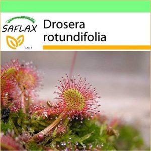 SAFLAX - Jardin dans la boîte - Droséra à feuilles rondes - 50 graines - Drosera rotundifolia de la marque SAFLAX image 0 produit