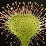 SAFLAX - Jardin dans la boîte - Droséra à feuilles rondes - 50 graines - Drosera rotundifolia de la marque SAFLAX image 3 produit