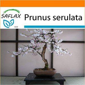 SAFLAX - Jardin dans le sac - Cerisier du Japon - 30 graines - Prunus serulata de la marque SAFLAX image 0 produit