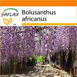 SAFLAX - Jardin dans le sac - Glycine arbre - 10 graines - Bolusanthus africanus de la marque SAFLAX image 0 produit