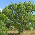 SAFLAX - Jardin dans le sac - Glycine arbre - 10 graines - Bolusanthus africanus de la marque SAFLAX image 3 produit