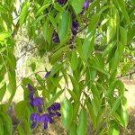 SAFLAX - Jardin dans le sac - Glycine arbre - 10 graines - Bolusanthus africanus de la marque SAFLAX image 4 produit