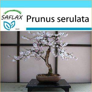 SAFLAX - Kit cadeau - Cerisier du Japon - 30 graines - Prunus serulata de la marque SAFLAX image 0 produit