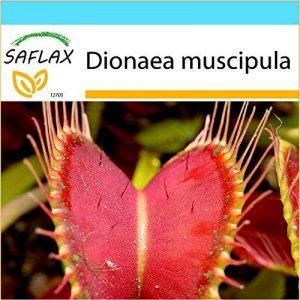 SAFLAX - Kit cadeau - Dionée attrape-mouche - 10 graines - Dionaea muscipula de la marque SAFLAX image 0 produit