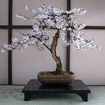 SAFLAX - Kit de culture - Cerisier du Japon - 30 graines - Prunus serulata de la marque SAFLAX image 4 produit