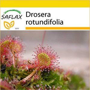 SAFLAX - Kit de culture - Droséra à feuilles rondes - 50 graines - Drosera rotundifolia de la marque SAFLAX image 0 produit