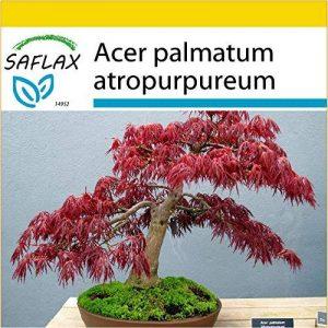 SAFLAX - Kit de culture - Erable du Japon pourpre - 20 graines - Acer palmatum atropurpureum de la marque SAFLAX image 0 produit