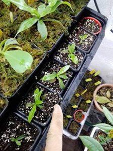 Sarracénie pourpre - Nepenthes - pot de 9cm de la marque exotenherz.de image 0 produit