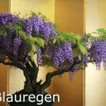 Seedeo Lot de Bonsai Kit de semis pour érable Extrême-Orient Deluxe (Rouge, Blanc, Bleu de pluie mûrier) de la marque Botanische Juwelen image 1 produit