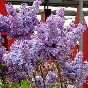 Syringa vulgaris Sensation bleu - 1 arbrisseau de la marque JardinPourVous image 0 produit