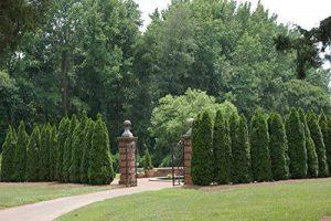 thuya à feuilles persistantes brousse arbre arbuste, 150 graines! Groco de la marque SVI image 0 produit
