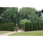 thuya à feuilles persistantes brousse arbre arbuste, 150 graines! Groco de la marque SVI image 1 produit
