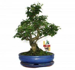 Troène chinois - Ligustrum sinensis de bonsaï - environ 10 ans de la marque exotenherz.de image 0 produit